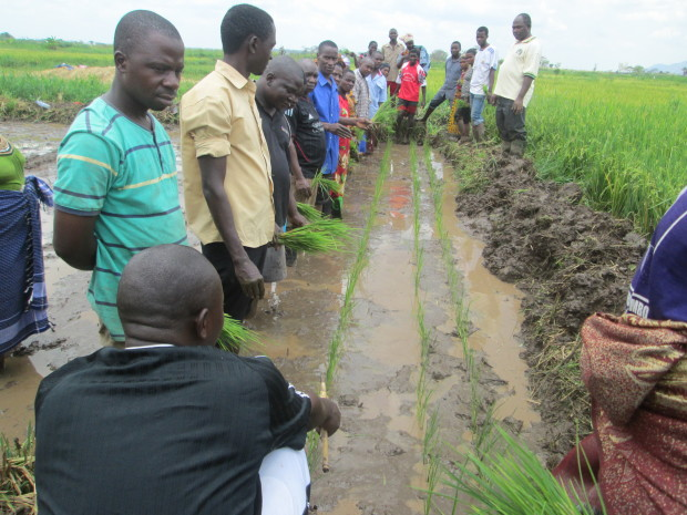 Rice farmers of Lupiro in Ulanga District receiving practical training through the sponsorship of Miche Association of Italy